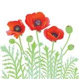 makową czerwone kwiaty Obraz Royalty Free