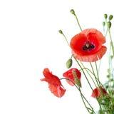 makowa czerwień Zdjęcie Royalty Free