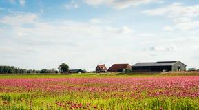 Makowa kultywacja w Holenderskim polderze Obraz Stock