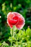 Makowego kwiatu światła słonecznego pojedynczy czerwony biały jaśnienie Zdjęcia Royalty Free