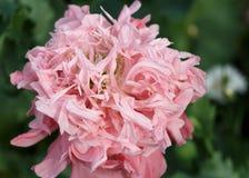 Makowego kwiatu piękny tło Fotografia Royalty Free