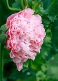 Makowego kwiatu piękny tło Obrazy Stock