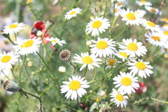 Makowi żarówki i chamomile kwiaty Fotografia Stock