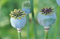 Makowi kwiatu ziarna strąki obrazy stock