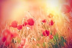 Makowi kwiaty Fotografia Stock