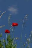 Makowi kwiaty Obrazy Royalty Free