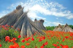 Makowi kwiaty Obraz Stock