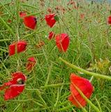 Makowi kwiaty Fotografia Royalty Free
