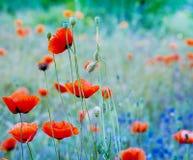 Makowi kwiaty głębokość pola płytki Obrazy Stock
