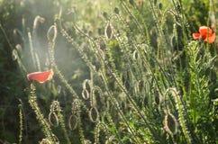 Makowi kwiaty w wieczór świetle Sylwetka czerwoni maczka pola pączki obraz royalty free