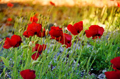 makowi piękni kwiaty Obrazy Stock