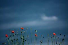makowi piękni kwiaty Obraz Royalty Free
