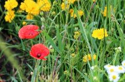 makowi piękni kwiaty Zdjęcie Royalty Free