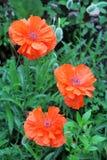 makowi piękni kwiaty Obraz Stock
