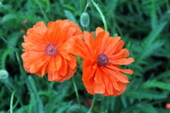 makowi piękni kwiaty Obrazy Royalty Free