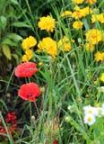 makowi piękni kwiaty Zdjęcia Royalty Free