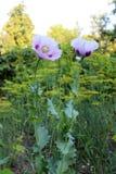makowi piękni kwiaty Zdjęcia Stock