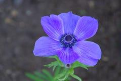 Makowy anemon 01 Zdjęcia Royalty Free