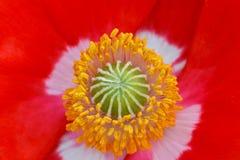 Makowy Anther mandala 02 Zdjęcie Royalty Free