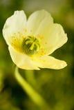makowy kolor żółty Zdjęcia Stock
