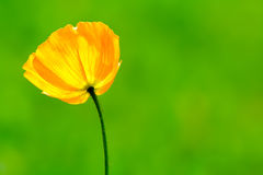 makowy kolor żółty Fotografia Royalty Free