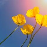 Makowy kwiat Fotografia Royalty Free