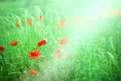 Makowy kwiat Zdjęcia Royalty Free