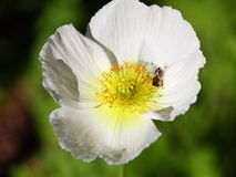 Makowy kwiat głowy biel z pszczołą Zdjęcie Royalty Free