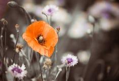 Makowy kwiat przy lato ogródem Zdjęcia Stock
