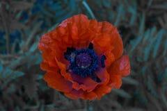 Makowy kwiat przy nocą Zdjęcie Stock