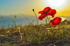 Makowy kwiat przy wschodem słońca na greckiej wyspie Obrazy Royalty Free