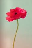 Makowy kwiat robić z kolorów filtrami Obrazy Stock