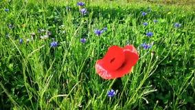 Makowy kwiat w cornflowers i popióle zbiory wideo