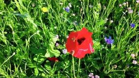 Makowy kwiat w cornflowers i popióle zdjęcie wideo