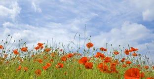 Makowy kwiat w polu. Fotografia Royalty Free
