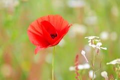 Makowy kwiat w polu Obraz Royalty Free