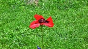 Makowy kwiat w popióle zbiory wideo
