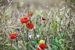 Makowy kwiatu pole Zdjęcie Stock