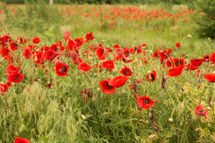 Makowy kwiatu pole Obrazy Royalty Free