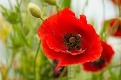 Makowy kwiatu pole Zdjęcia Royalty Free