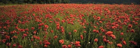 Makowy kwiatu pole, zbiera zdjęcia royalty free
