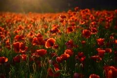 Makowy kwiatu wspominania dzień obraz stock