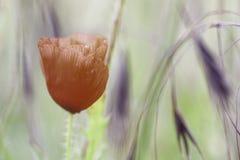 Makowy wiosna kwiatu tło Obrazy Stock