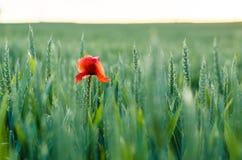 Makowy ziarno w adrze Czerwony makowy kwiat Fotografia Royalty Free