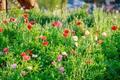 Makowych kwiat czerwieni menchii światła słonecznego biały jaśnienie Fotografia Stock