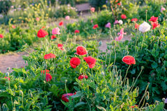 Makowych kwiat czerwieni menchii światła słonecznego biały jaśnienie Obrazy Royalty Free