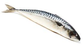 Makreel stock foto's