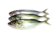 Makreel die op wit wordt geïsoleerdg Royalty-vrije Stock Foto