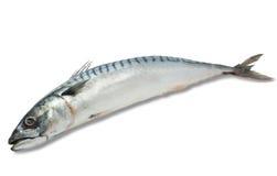 Makreel op een witte achtergrond Royalty-vrije Stock Fotografie