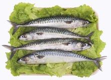 Makreel (vissen) royalty-vrije stock afbeeldingen